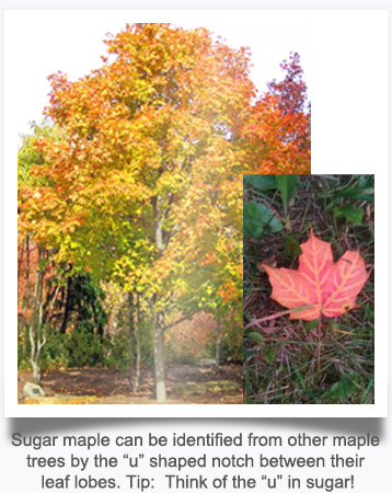 "Sugar maple can be identified from other maple trees by the ""u"" shaped notch between their leaf lobes. Tip:  Think of the ""u"" in sugar!"