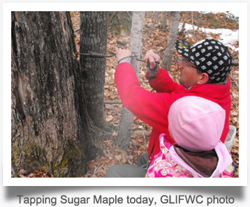 Tapping Sugar Maple today, GLIFWC photo