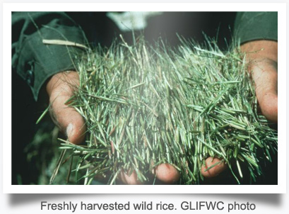 Freshly harvested wild rice. GLIFWC photo