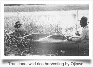 Traditional wild rice harvesting by Ojibwe