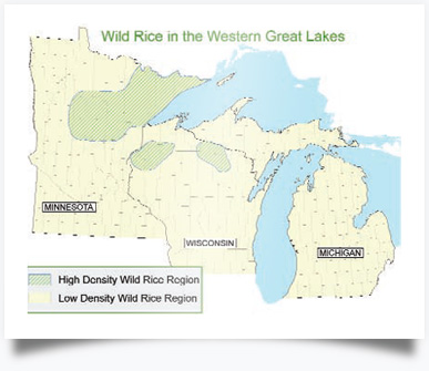 Wild Rice in the Western Great Lakes