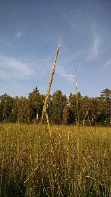 Gathering Background on Wild Rice