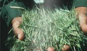 GWOW - Wild Rice (Manoomin)