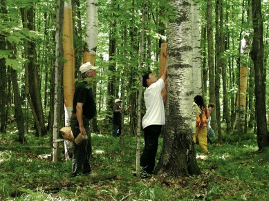 Investigate how Ojibwe people use paper birch.