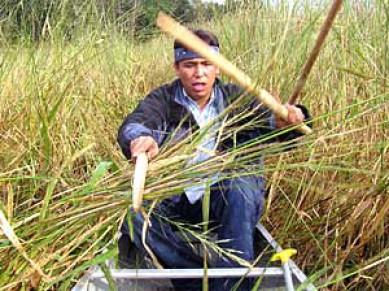 Watch the Wild Rice video clip to see how manoomin is harvested.