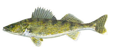 Explore the importance of walleye to the Ojibwe by meeting Tommy Sky,